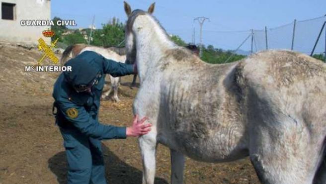 Un caballo desnutrido es intervenido por la Guardia Civil.