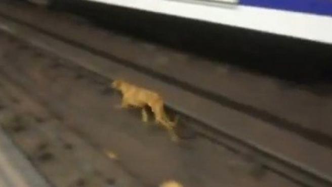 Imagen del galgo marrón que se ha introducido este jueves en las vías del Metro de Madrid.
