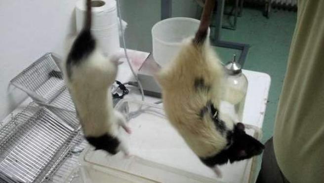 Imagen de archivo de ratas de laboratorio.