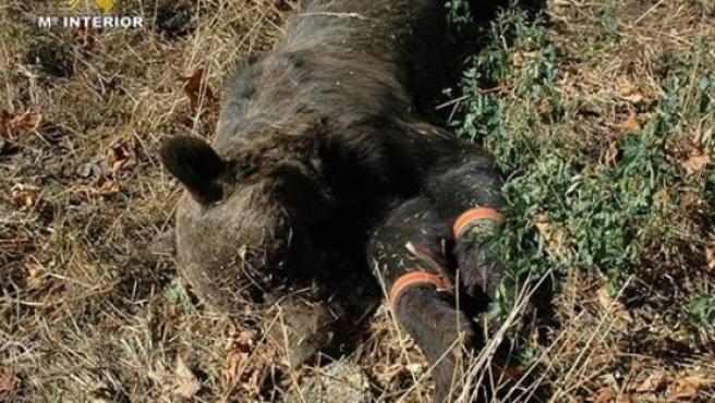 Imagen del oso pardo.