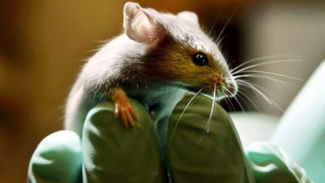 Un ratón de laboratorio sobre la mano de un científico.