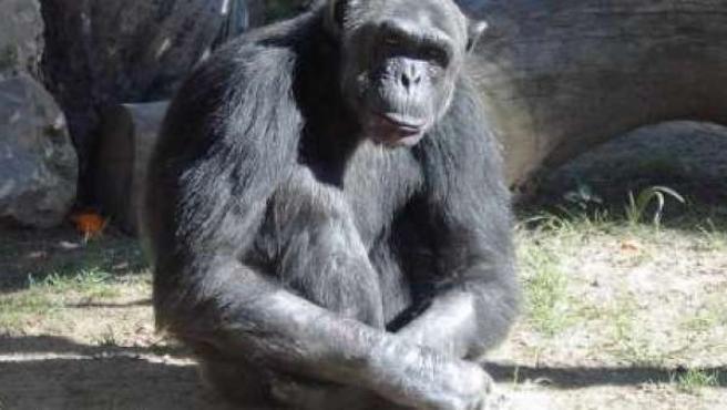 Un chimpancé en el zoológico.