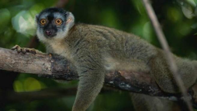 Los lémures proceden de la isla de Madagascar.