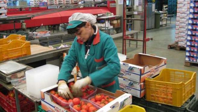 Una Trabajadora De La Industria Auxiliar Empaqueta Tomates