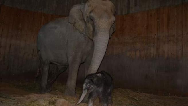 Imagen del Zoo de Madrid que muestra a la elefanta Samy y a su cría.