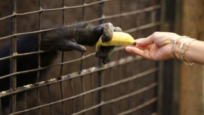 Un primate recibe un plátano en una imagen de archivo.