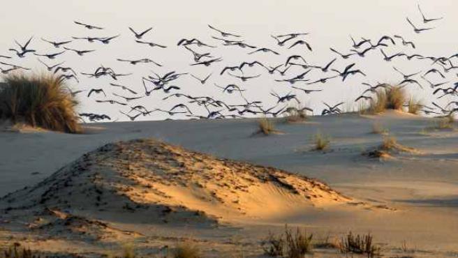 Miles de ánades en el Cerro de los Ánsares, una zona de dunas de Doñana.