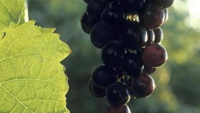 Un racimo de uvas recién cortado de la vid.