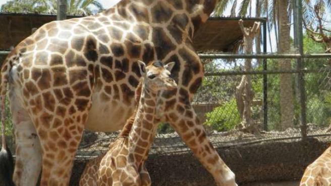 Nace una jirafa en el Oasis Park de Fuerteventura