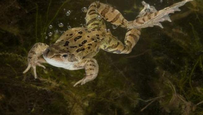 Imagen de una rana común saltando al agua.