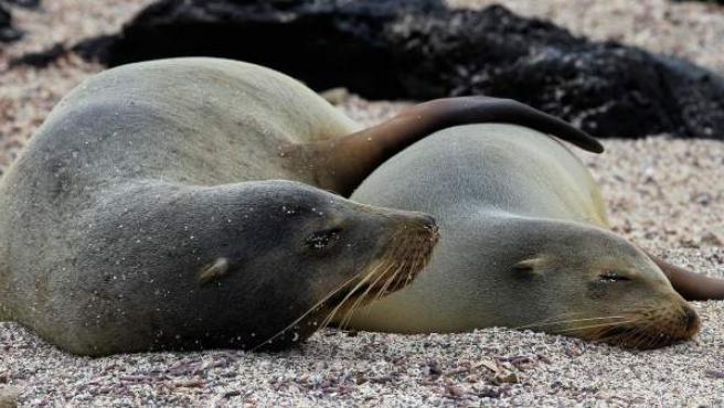 Imagen del 3 de junio de 2013, en Puerto Baquerizo Moreno, Galápagos (Ecuador), en la que aparecen dos lobos marinos.