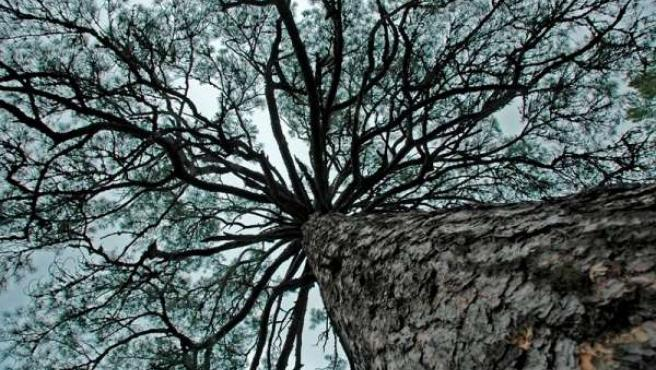 Árbol-pino