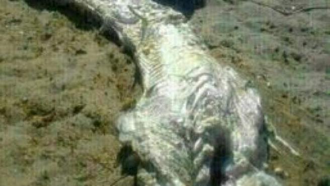 Restos del animal marino encontrado en Almanzora, Almería.