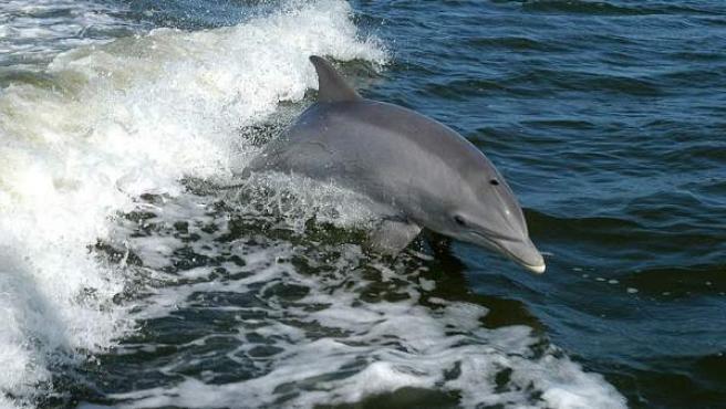 Imagen de un delfín mular.