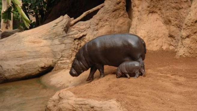 Hipopótamo Pigmeo Nacido En Biopar Fuengirola