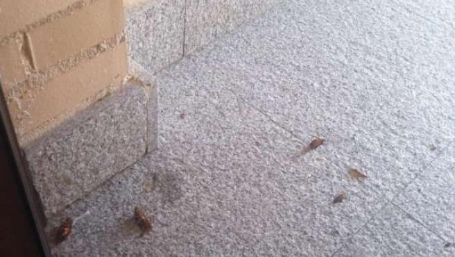 Cucarachas, Cucaracha, Insecto