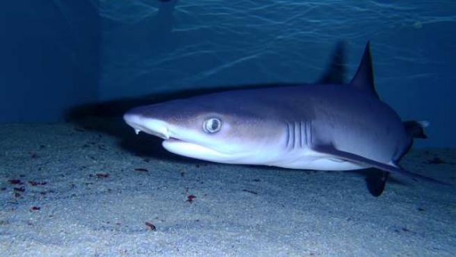 El Tiburón Bernarda