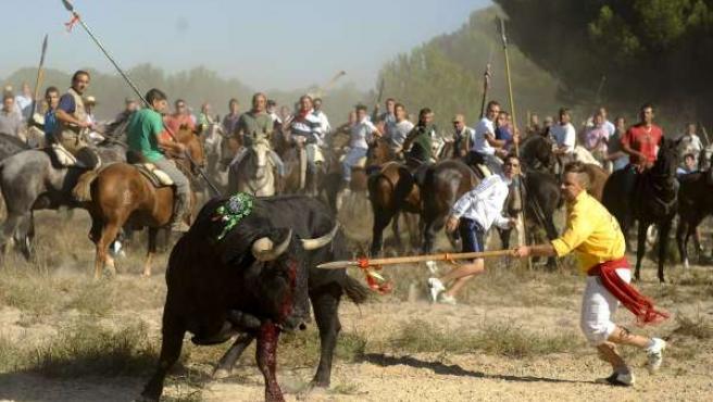 Joven clavando una lanza al toro, en la festividad de Tordesillas