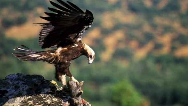 La imperial ibérica es el águila más amenazada de Europa