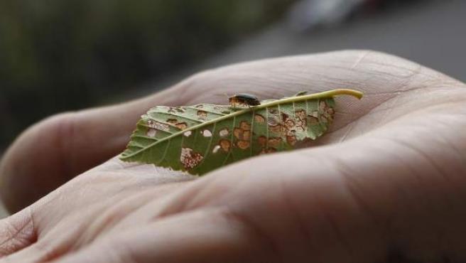 Un ejemplar de escarabajo galeruca, sobre una hoja de olmo atacada por el insecto, en Entrevías (Vallecas).