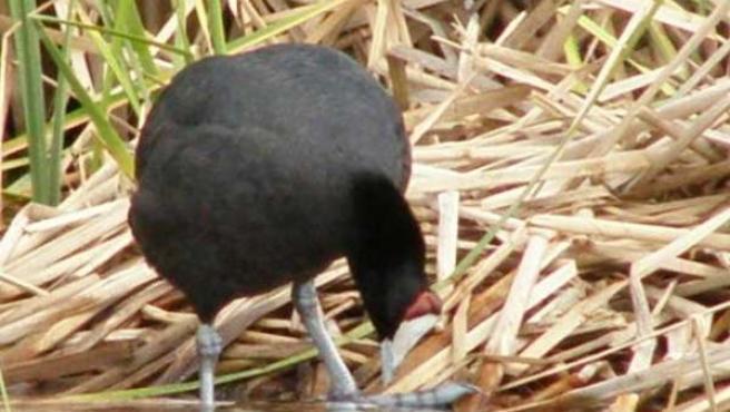 Un ave acuática busca comida en un humedal de Córdoba