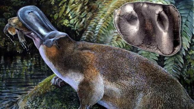 Imagen facilitada por la Universidad de Nueva Gales del Sur de un boceto de un ornitorrinco carnívoro de un metro de largo, la especie dentada de mayor tamaño descubierta hasta la fecha.