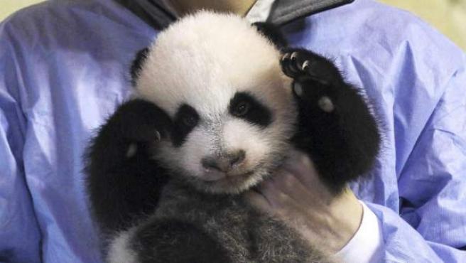La cría de oso panda gigante nacida hace dos meses en el Zoo de Madrid, momentos antes de ser presentada en la pagoda de Osos Panda.