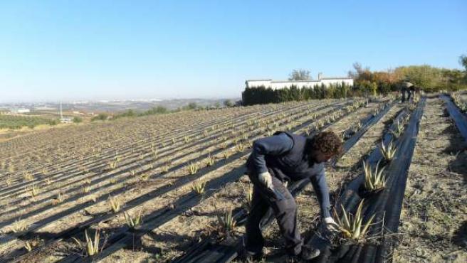 Plantación De Aloe Vera En Aguilar De La Frontera