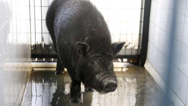 Especímen de cerdo vietnamita capturado en Sevilla