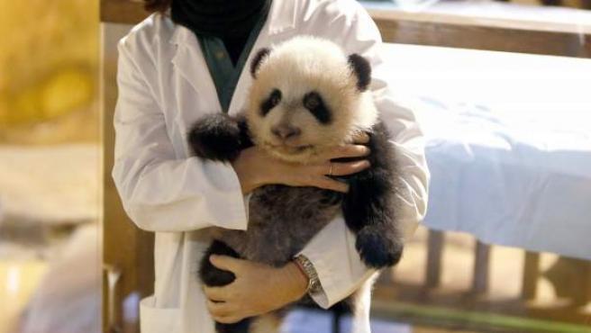 Xing Bao será el nombre de la cría de oso panda del Zoo de Madrid