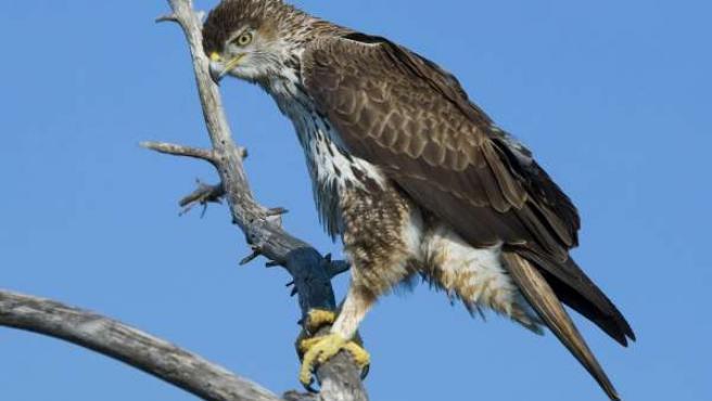 Þáguila Azor Perdicera Málaga ave turismo ornitológico eco pájaro rapaz
