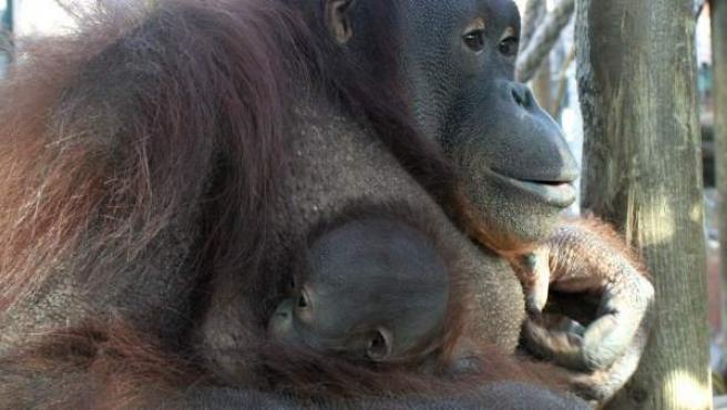 Jawi, una orangután de Borneo de 17 años, sostiene a su segunda cría, Hadiah, nacida el 2 de enero en el Zoo de Barcelona.