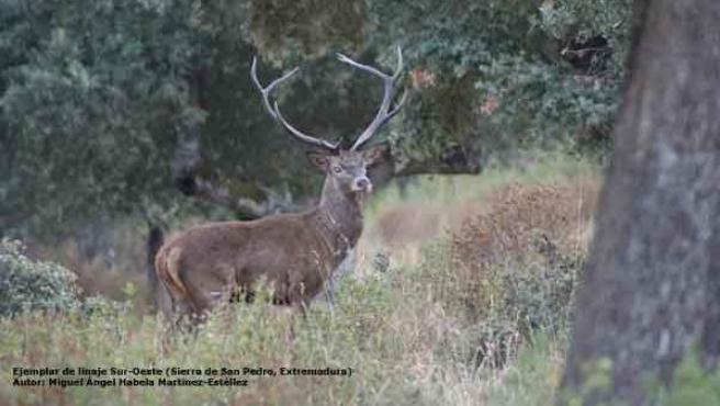 Ejemplar de ciervo ibérico del linaje Sur-Oeste en la Sierra de San Pedro, Extremadura.