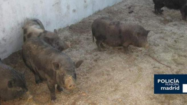 Los cerdos vietnamitas capturados