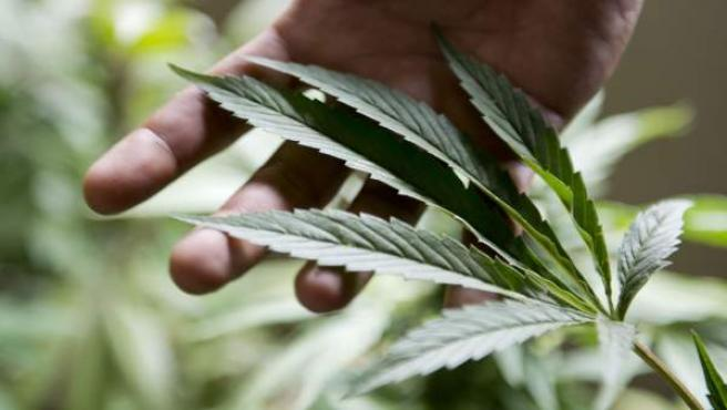 Imagen de una planta de marihuana.