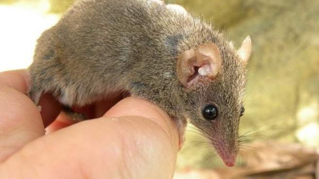 Un ejemplar de la familia de marsupiales 'Antechinus'.