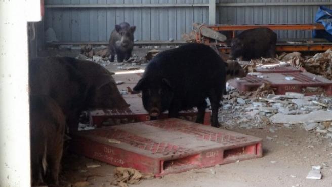 Fotografía facilitada por el Ayuntamiento de Tomioka. Cuatro localidades que permanecen evacuadas desde 2011 por el accidente en la cercana planta nuclear de Fukushima han sido tomadas por un número creciente de animales salvajes como jabalíes, mapaches o cerdos de granja.