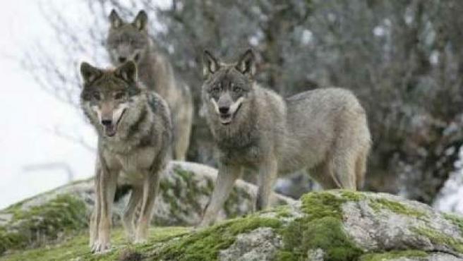 Imagen de dos lobos en la sierra.