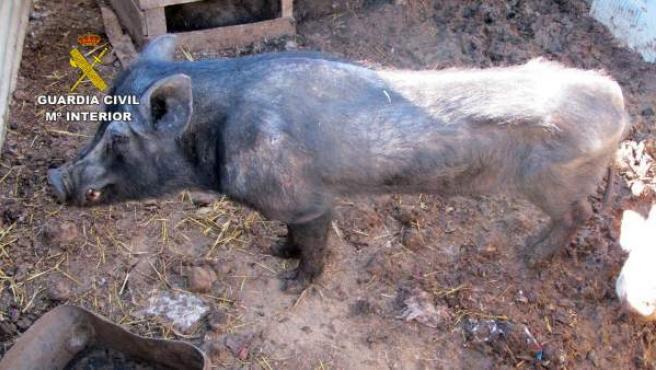Imagen de un cerdo con evidentes síntomas de desnutrición en una granja de Molina de Segura (Murcia).