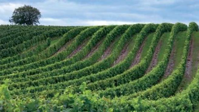 Campo, agricultura, olivos, vino