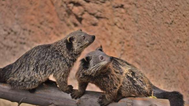 Reproducción Binturong Bioparc Fuengirola medio ambiente especies