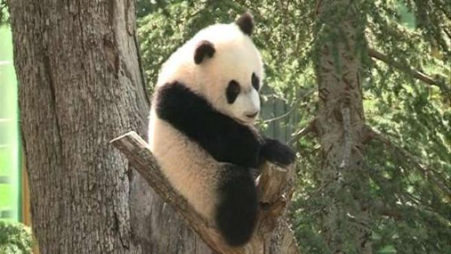 Primeros pasos de la cría de oso panda gigante