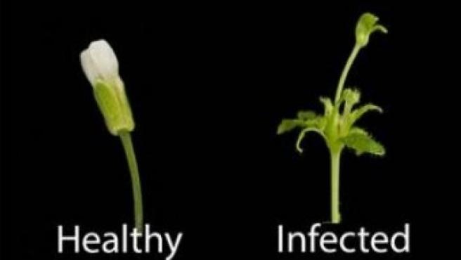 Tres estadios de la planta parasitada: en estado saludable (izquierda), infectada (centro) y afectada por la proteína SAP54, que altera su crecimiento.
