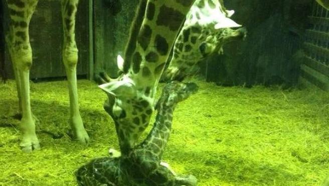 La cría de jirafa minutos después del parto.