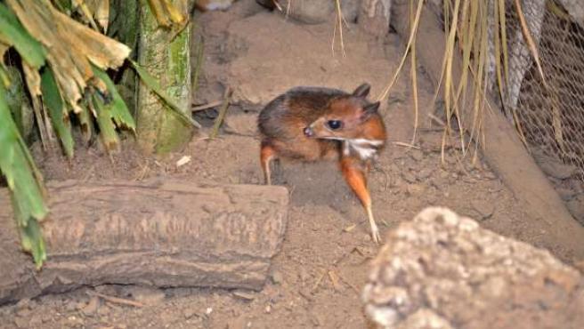 Ciervo-ratón cérvido más pequeño del mundo naturaleza nacimiento