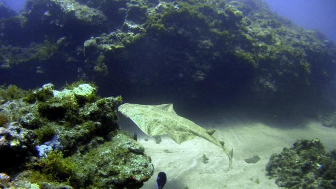 Fotografía facilitada por la Universidad de Las Palmas de Gran Canaria (ULPGC) de un ejemplar de tiburón ángel tomada en el mar de esta isla.
