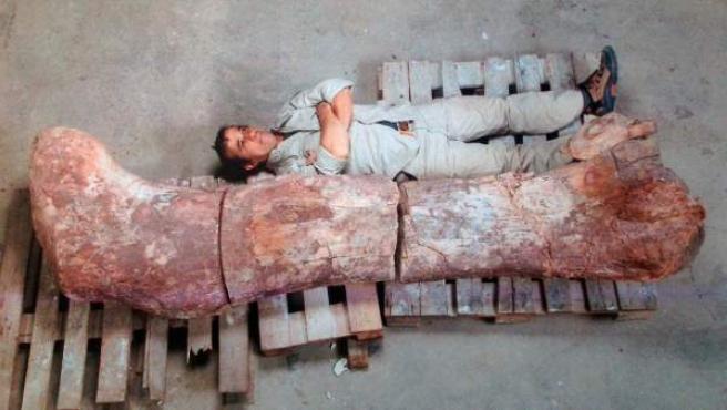Fotografía cedida por el Museo Egidio Feruglio (Argentina) de un hombre junto al fémur del dinosaurio más grande encontrado.