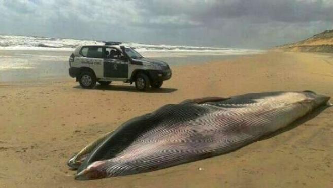 Ballena muerta en una playa de Matalascañas