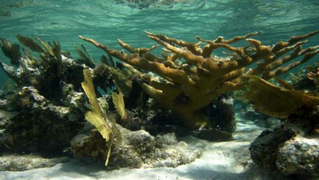 Fotografía facilitada por la Universidad James Cook Australia que ha divulgado un estudio según el cual los arrecifes de coral del Caribe han dejado de crecer o han empezado a erosionarse debido a una menor acumulación del carbonato que necesitan para desarrollarse.