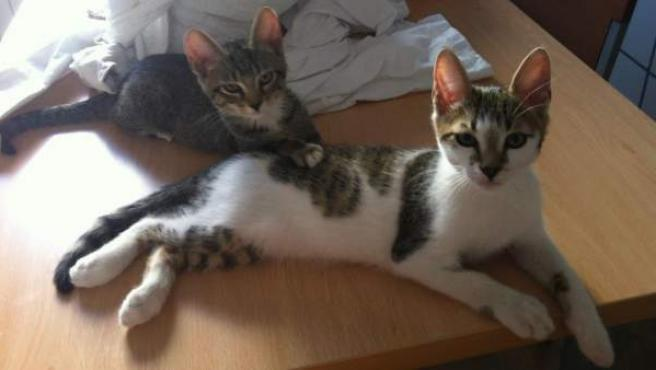 Dos gatos cachorros.